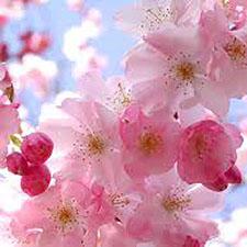 blossoms5