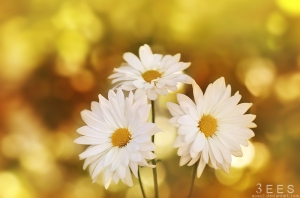 daises_____by_aoao2-d4fwqys