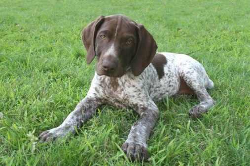 german-shorthaired-pointer-06